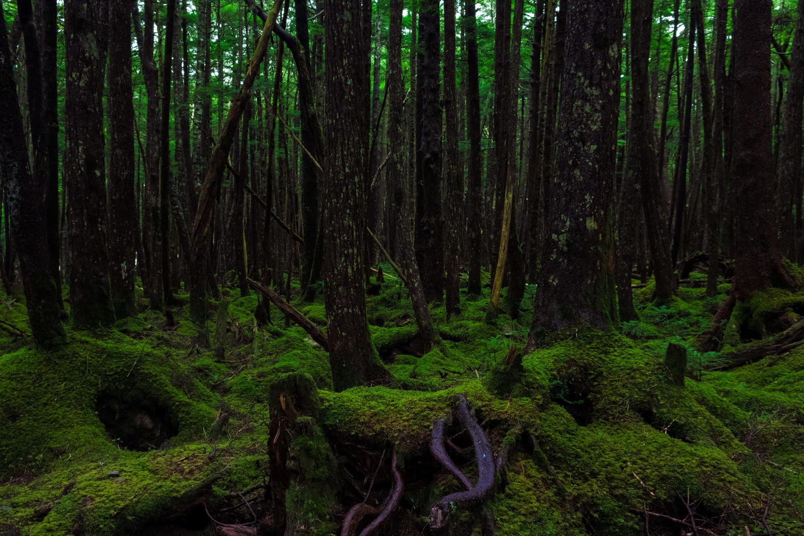 白駒(しらこま)の原生林